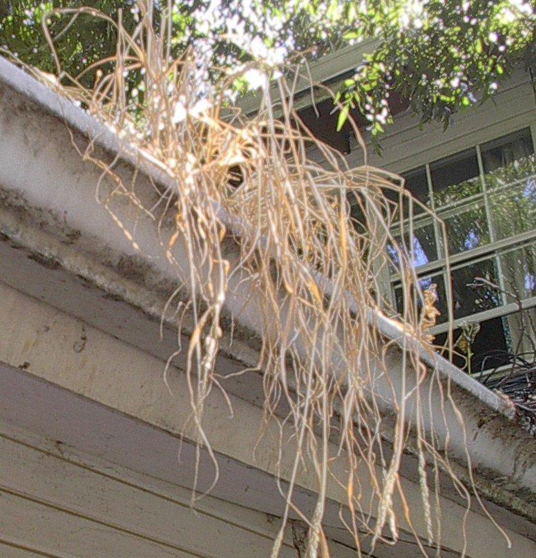 Dead plant in roof gutter